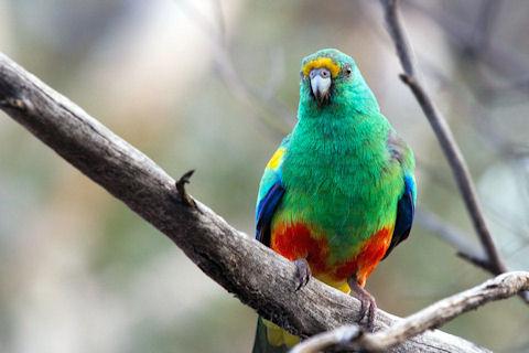 Mulga Parrot [Larry 3/5]