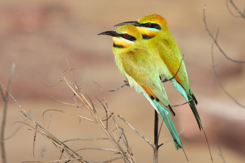 bee eater the transition to the