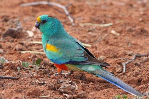 Mulga Parrot - Psephotus varius   The Mulga Parrot, also kno…   Flickr