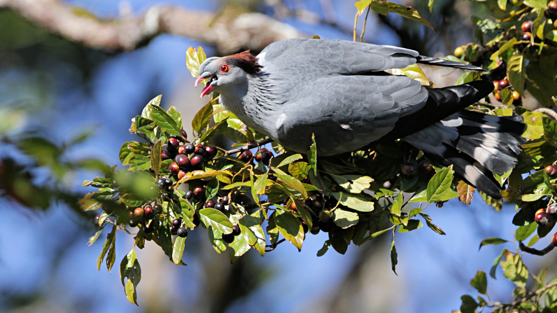 Qld Topknot Pigeon [...