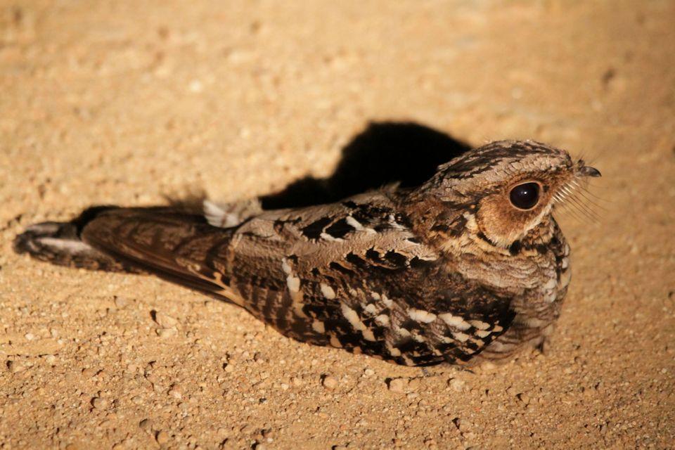 Tailed Nightjar Large-tailed Nightjar Bushpea